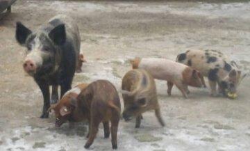 Bild Patenschweine Finnwaa Tierschutz